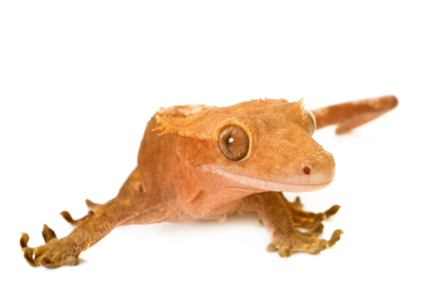 Gecko mit haube Premium Fotos