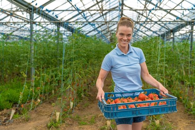 Geerntete bio-tomaten in einem gewächshaus, in kisten gelagert. frau trägt kisten mit tomaten. Premium Fotos