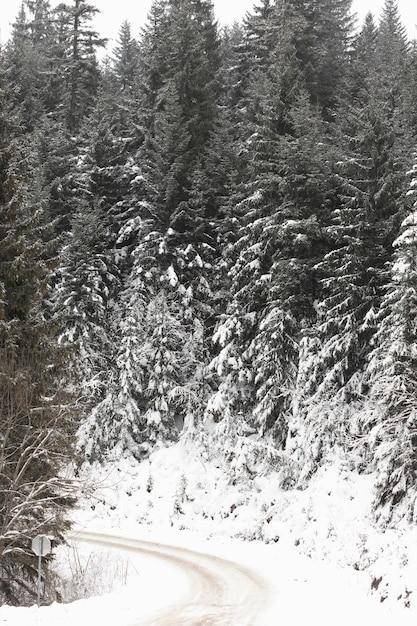 Gefrorene forststraße und kiefern mit schnee Kostenlose Fotos