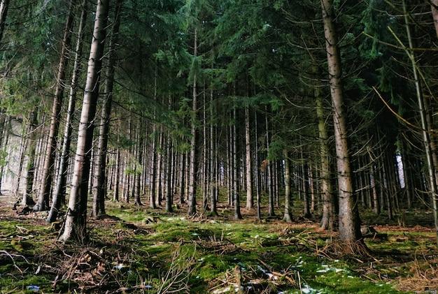 Geheimnisvoller wald, der während der winterzeit von der sonne beleuchtet wird. viele bäume verleihen dem bild eine magische atmosphäre Premium Fotos