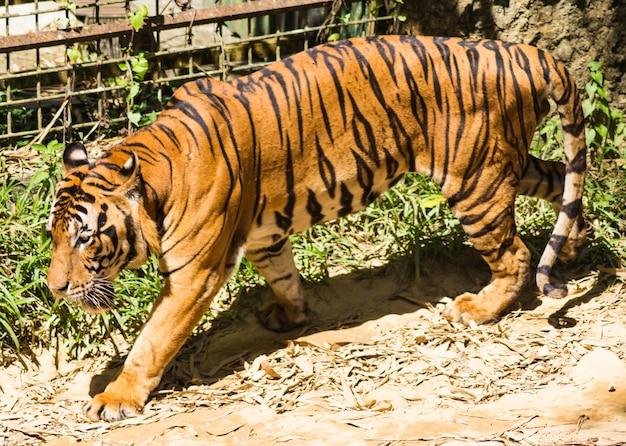 Gehender tiger in einem zoo Premium Fotos