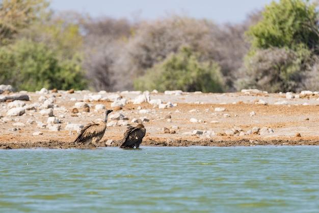 Geier am wasserloch, nationalpark etosha, reisesafari in namibia, afrika. Premium Fotos