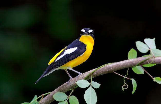Gelb-rumped schnäpper ficedula zanthopygia schöne männliche vögel von thailand Premium Fotos