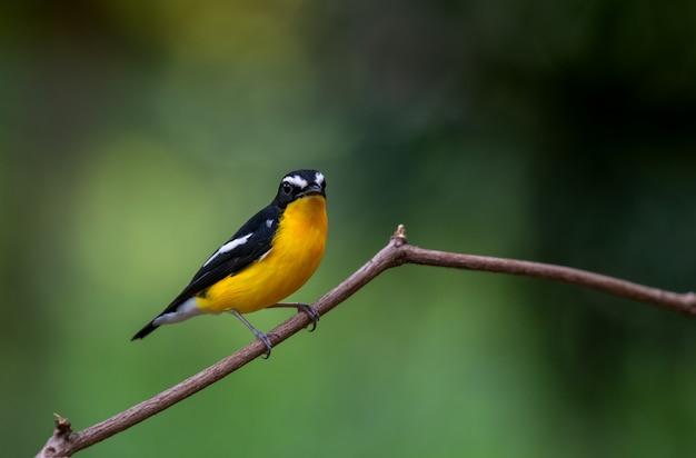 Gelb rumped schnäpper (ficedula zanthopygia), schöner vogel in thailand Premium Fotos