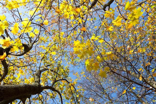 Gelbe ahornblätter, die auf einem baum wachsen. von unten gegen den blauen himmel fotografiert. nahansicht. Premium Fotos