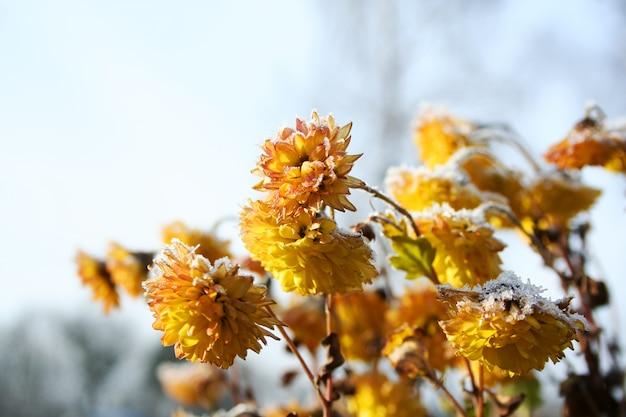 Gelbe blüten sind mit frost bedeckt Premium Fotos