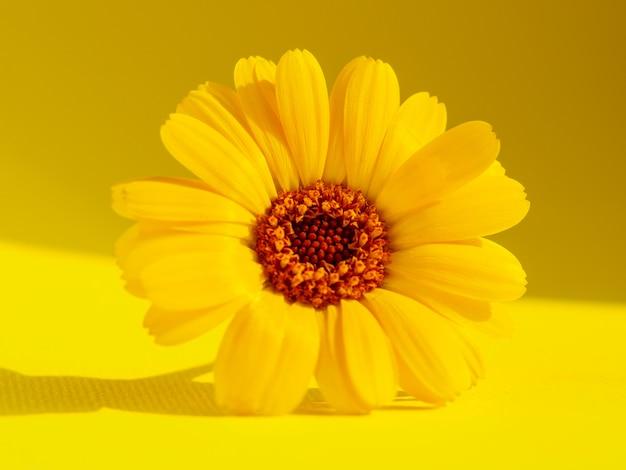 Gelbe blume auf gelbem grund. makrofotografie. Premium Fotos
