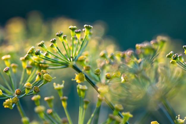 Gelbe blumen des dills (anethum graveolens) wachsend in einem garten. Premium Fotos