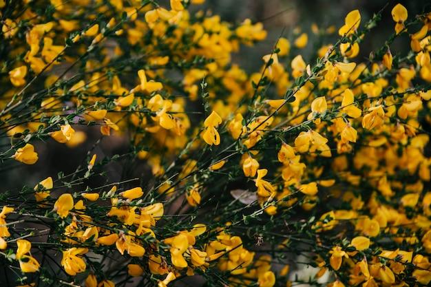 Gelbe Blumen des schottischen Besens, die draußen blühen   Download ...