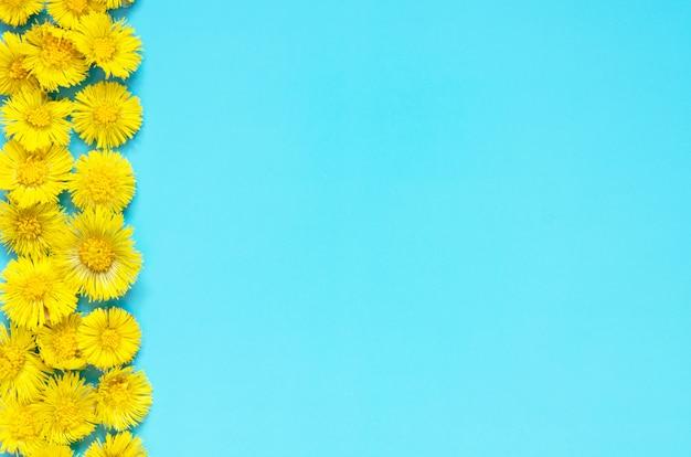 Gelbe blumen von coltsfoot auf blauem hintergrund. (tussilago farfara). medizinische pflanze. Premium Fotos