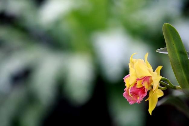 Gelbe cattleya-orchidee, thailand-blume Premium Fotos