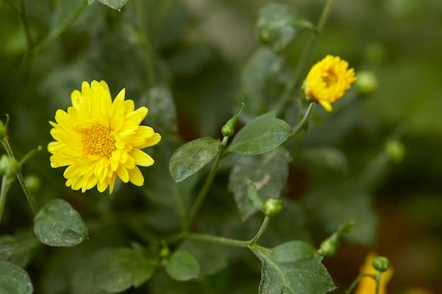 Gelbe chrysantheme im garten Premium Fotos