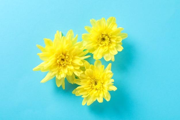 Gelbe chrysanthemen auf blauem tisch Premium Fotos