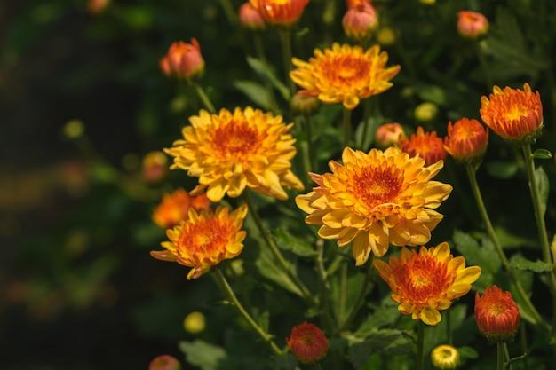 Gelbe chrysanthemenblume mit orange mitte Premium Fotos