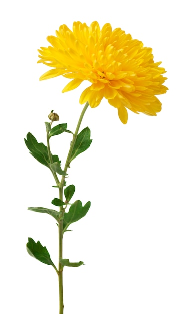 Gelbe chrysanthemenblumen lokalisiert auf weiß Premium Fotos