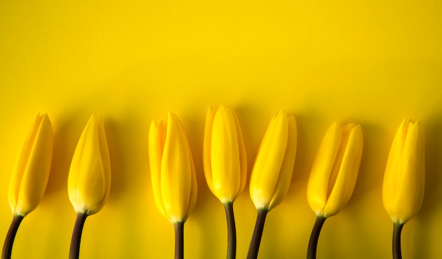 Gelbe frische frühlingstulpen Premium Fotos
