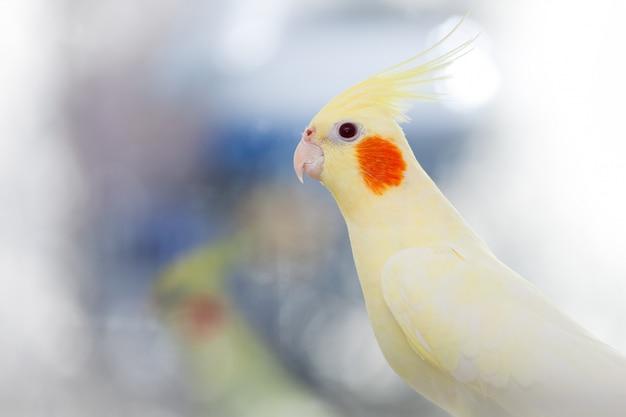 Gelbe papageienkorella auf licht Premium Fotos