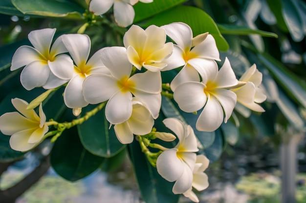 Gelbe plumeriablume tropischer blumen frangipani (plumeria) im garten. Premium Fotos