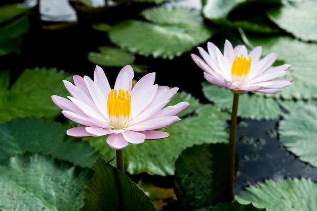 Gelbe und rosa lotosknospen und blühen wunderschön Premium Fotos