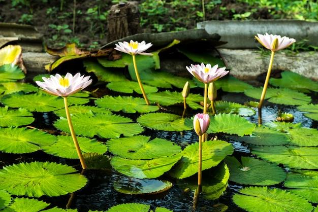 Gelbe und rosafarbene lotosknospen und -blüte schön Premium Fotos