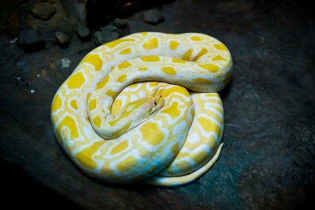 Gelbe und weiße schlange Premium Fotos