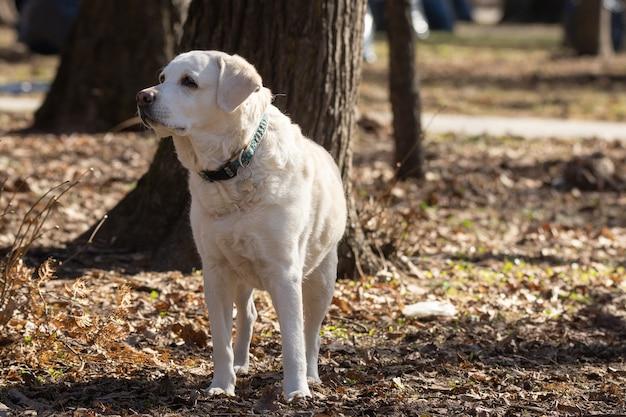 Gelber labrador-apportierhund Premium Fotos