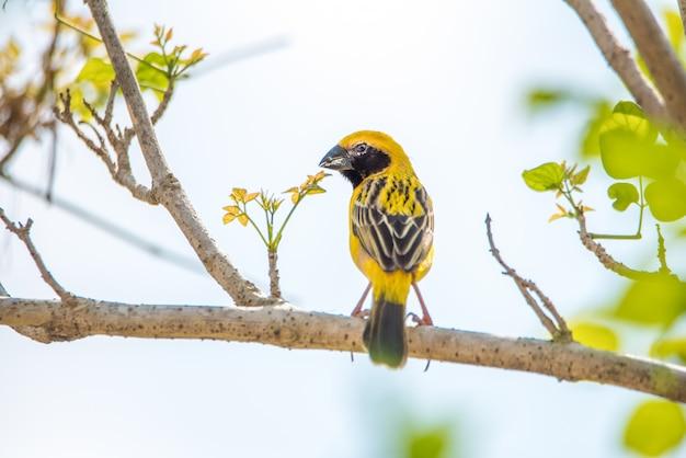 Gelber pirolvogel mit nest auf der niederlassung des baums. Premium Fotos