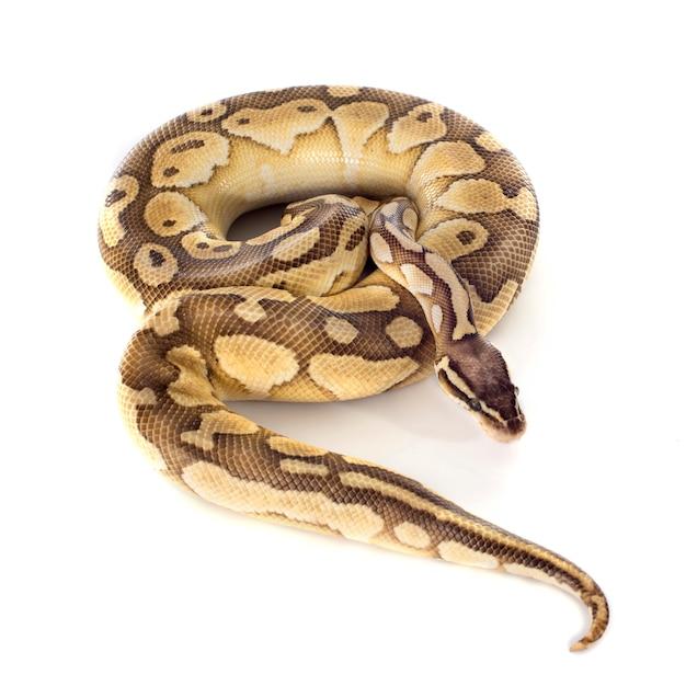 Gelber python regius Premium Fotos