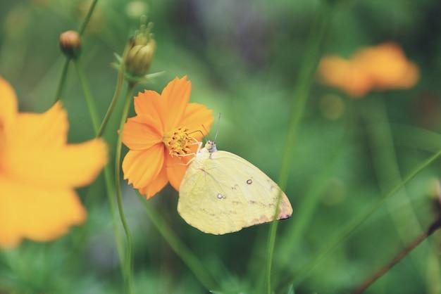 Gelber schmetterling auf gelber blume Premium Fotos