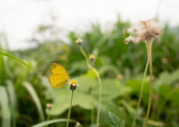 Gelber schmetterling auf grasblume Premium Fotos