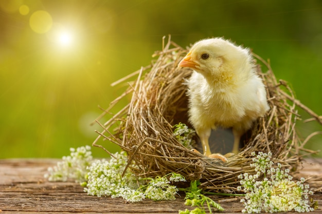 Gelbes küken in einem nest auf einem natürlichen hintergrund. Premium Fotos