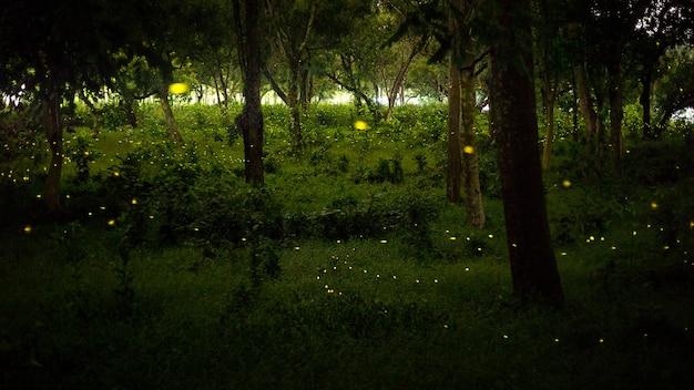 Gelbes licht von glühwürmchen fliegen in naturwald nachts nach sonnen Premium Fotos