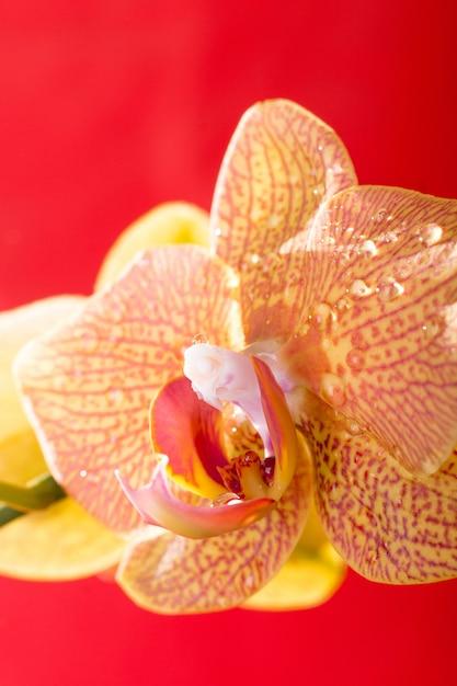 Gelbes und rotes orchideenmakro mit wassertropfen. phalaenopsis. nahansicht. frühling. Premium Fotos