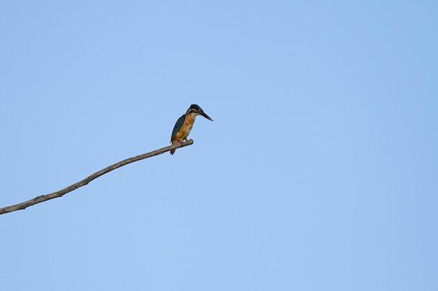 Gemeiner eisvogel, der auf der niederlassung hockt Premium Fotos