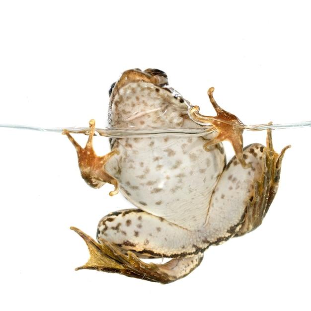 Gemeiner frosch Premium Fotos