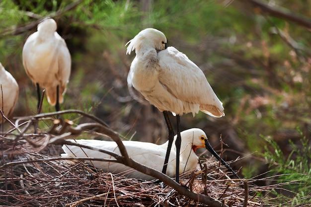 Gemeiner spoonbill im nest Kostenlose Fotos