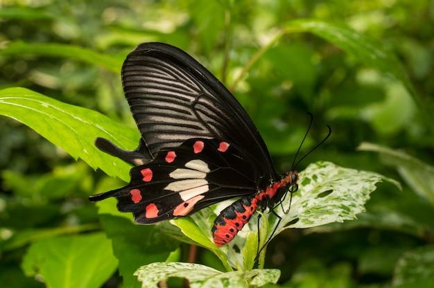 Gemeinsame Rose Schmetterling halten Blatt im Garten Kostenlose Fotos