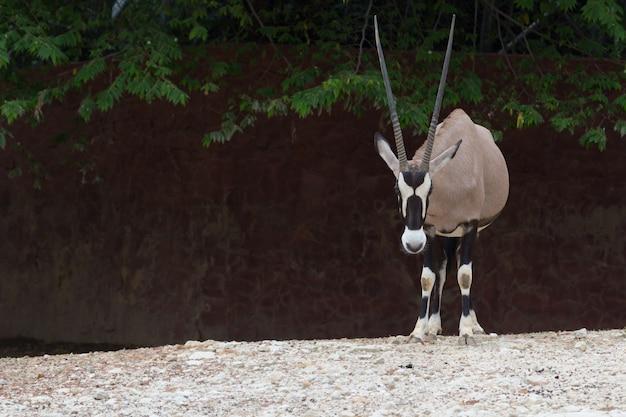 Gemsbok-antilope (oryx gazella) rotwild, südafrika Premium Fotos