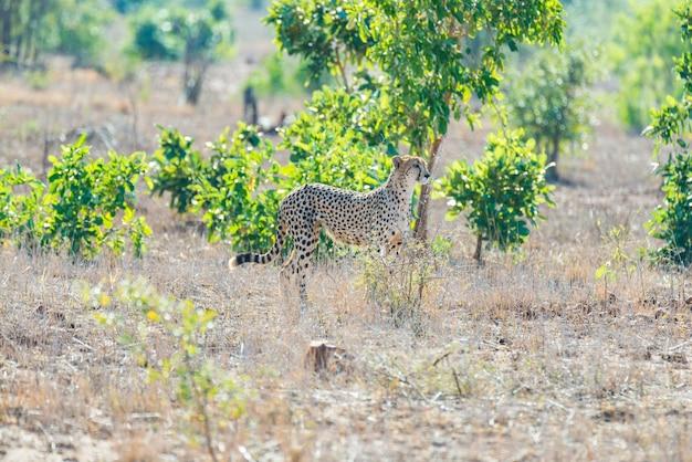 Gepard in der jagdposition bereit, für einen hinterhalt zu laufen. krüger nationalpark, südafrika. Premium Fotos