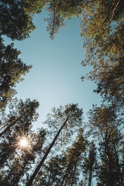 Gerade stämme von hohen kiefern unter freiem himmel. Premium Fotos