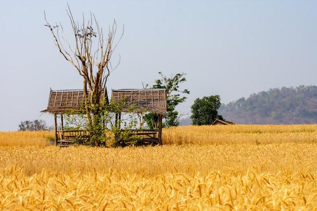Gerste im feldkonvertierungstest in nordthailand Premium Fotos