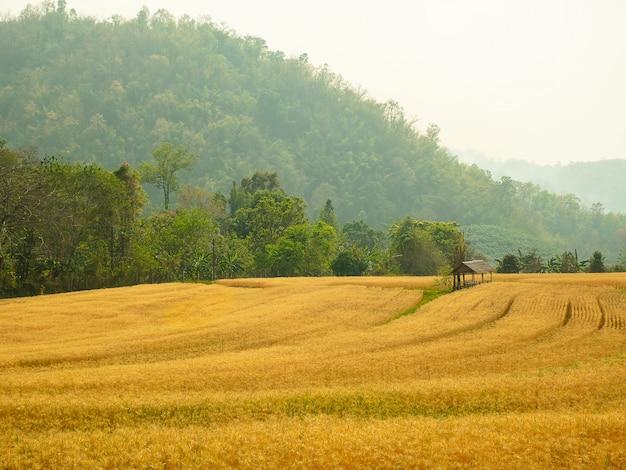 Gerste im feldumwandlungstest bei nord-thailand, goldene farbe des reises, gerste in chiangmai thailand. Premium Fotos