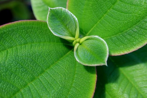 Geschlossen herauf beschaffenheit von vibrierenden grünen jungen haarigen blättern Premium Fotos