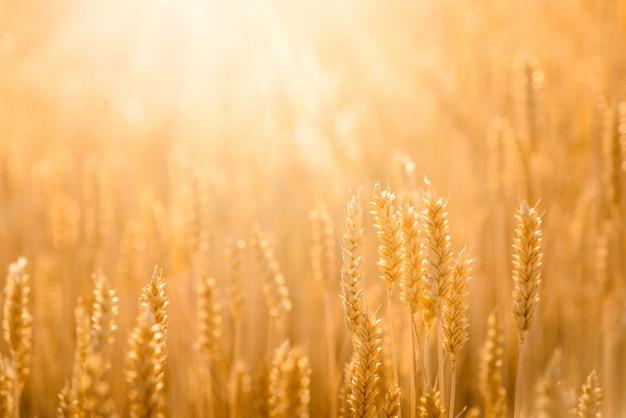 Getreidefeld. schließen sie herauf naturhintergrund Premium Fotos