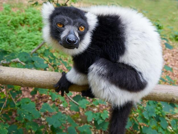 Getrumpfter lemur vom madagaskar-porträt Premium Fotos