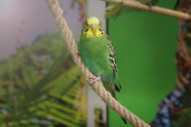 Gewellter grüner papagei untersucht kamera gegen grünen hintergrund Premium Fotos