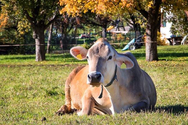 Gewöhnliche italienische kuh liegt auf dem gras nahe dem bauernhof Premium Fotos