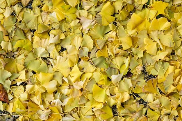 Ginkgo biloba-gelbblätter, die auf den boden fallen Premium Fotos