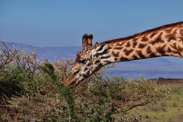 Giraffe auf safari in kenia und tansania, afrika Premium Fotos