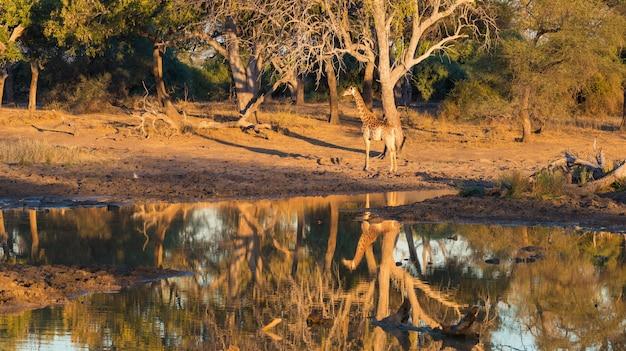 Giraffe, die in richtung zum waterhole bei sonnenuntergang geht. wildlife safari im mapungubwe national park, südafrika. szenisches weiches warmes licht. Premium Fotos